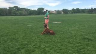 Focus Dog Training: Monnie/Rafiki: off-leash training