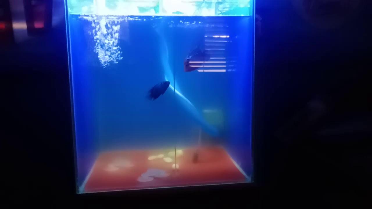 Ikan Cupang Umur 1 Bulan