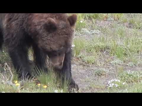 Grizzly Bear at Yellowstone National Park