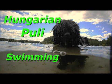 Hungarian Puli • Bob Swimming