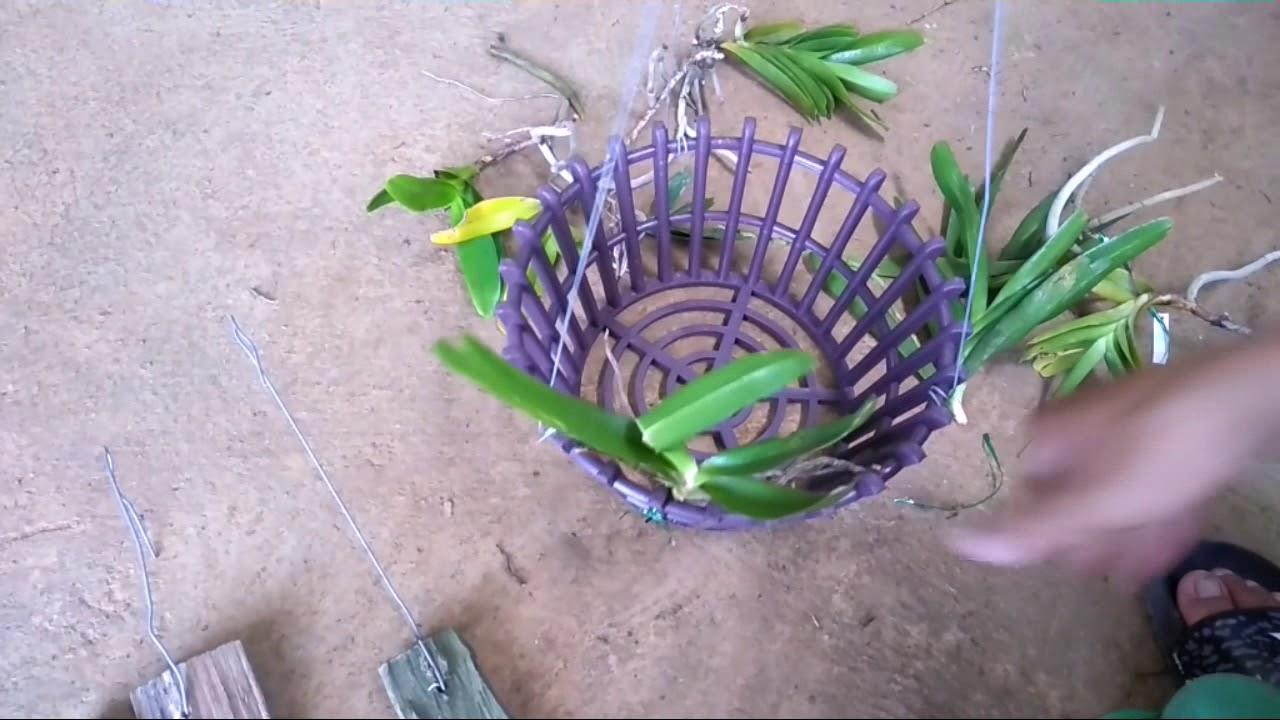 Cách trồng phong lan đơn thân – rễ gió vào chậu