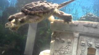 Snapping turtle eats tiny toad