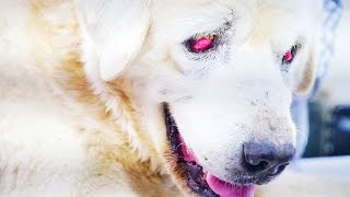 Amazing recovery of giant blind dog abandoned by his family at a kill shelter