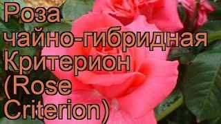 Роза чайно-гибридная Критерион (Rose Criterion) ???? обзор: как сажать, саженцы розы