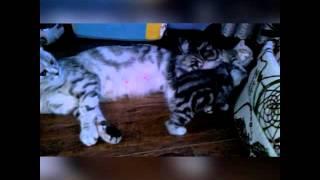 К резервированию котята шотландской вислоухой. Возраст три недели. Чита