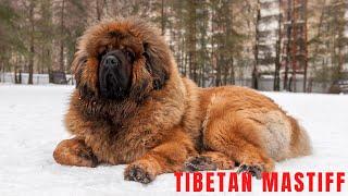 Tibetan Mastiff  World Biggest dog breed