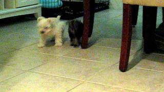 Akc Teacup, Toy & Miniature Schnauzers  For Sale
