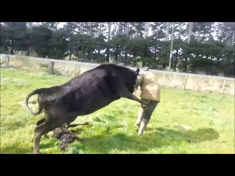 mother-cow-protects-baby-calf,-attacks-dairy-farmer