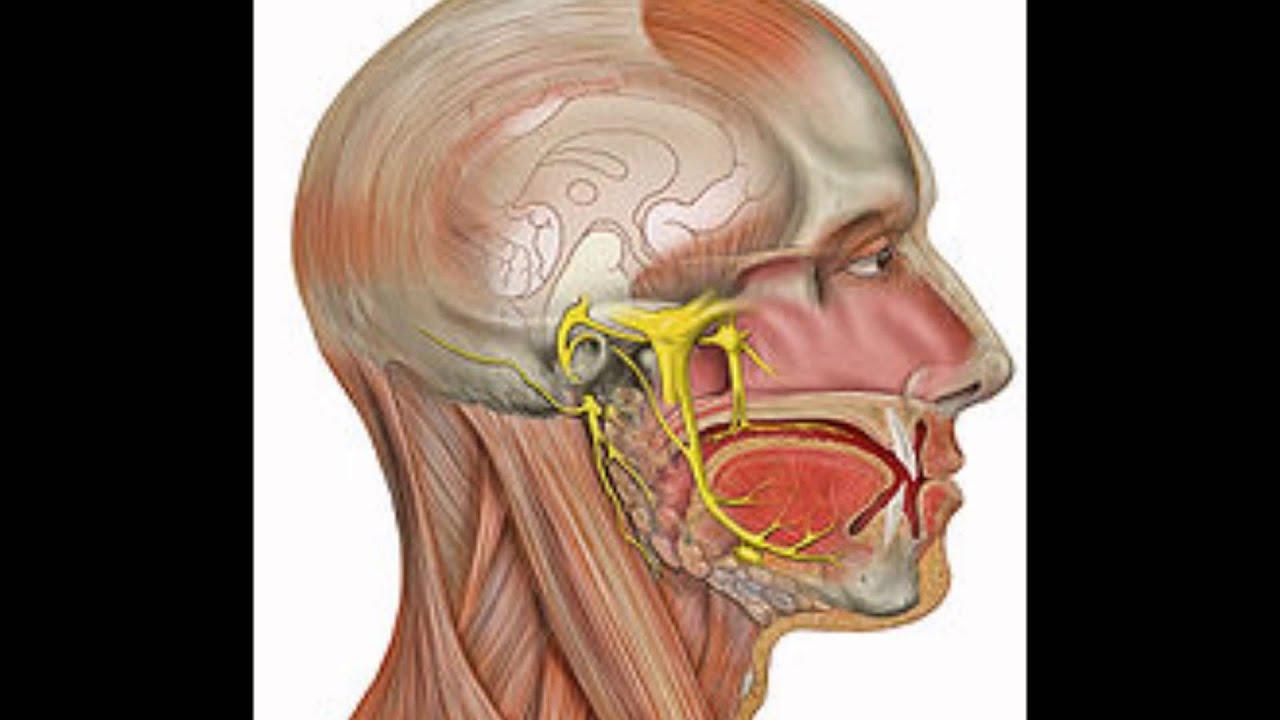 Nervio maxilar inferior - YouTube