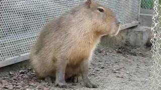 Capybara's Sexual Pursuit カピバラの性的追跡