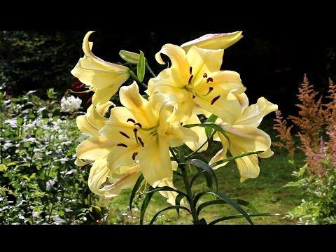 Лилии основные гибриды и особенности их выращивания