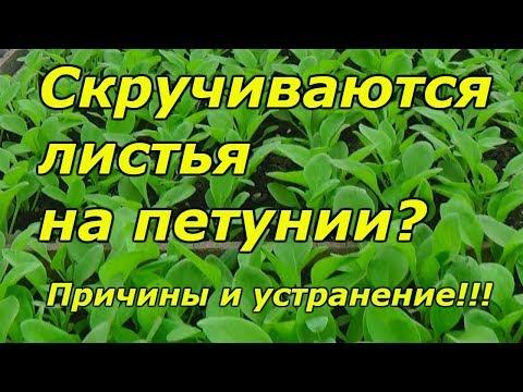 Почему скручиваются листья на рассаде петунии? | скручивание | выращивание | скрутились | вырастить | рассада | петуния | листьев | почему | листья | чего