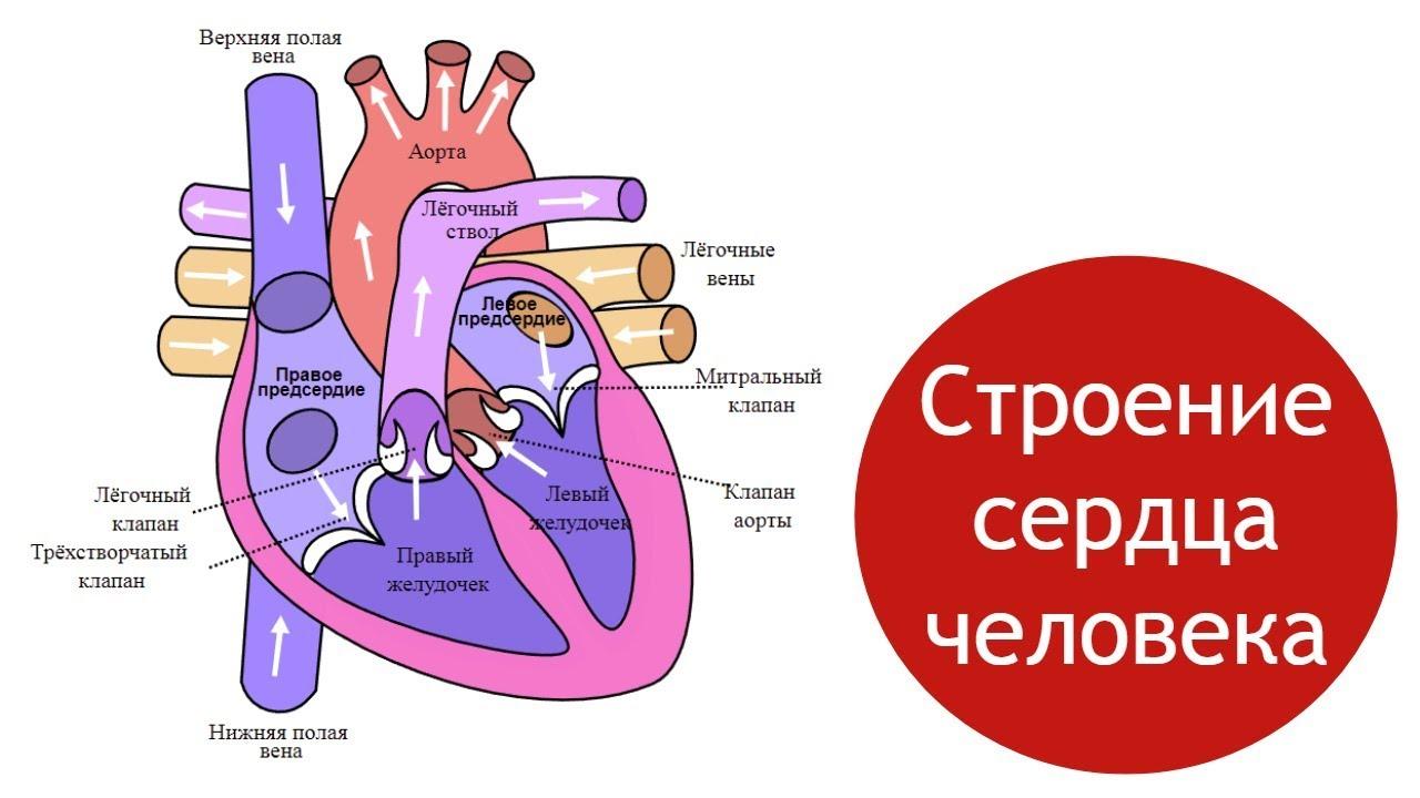 Схема сердца человека рисунок фото 972
