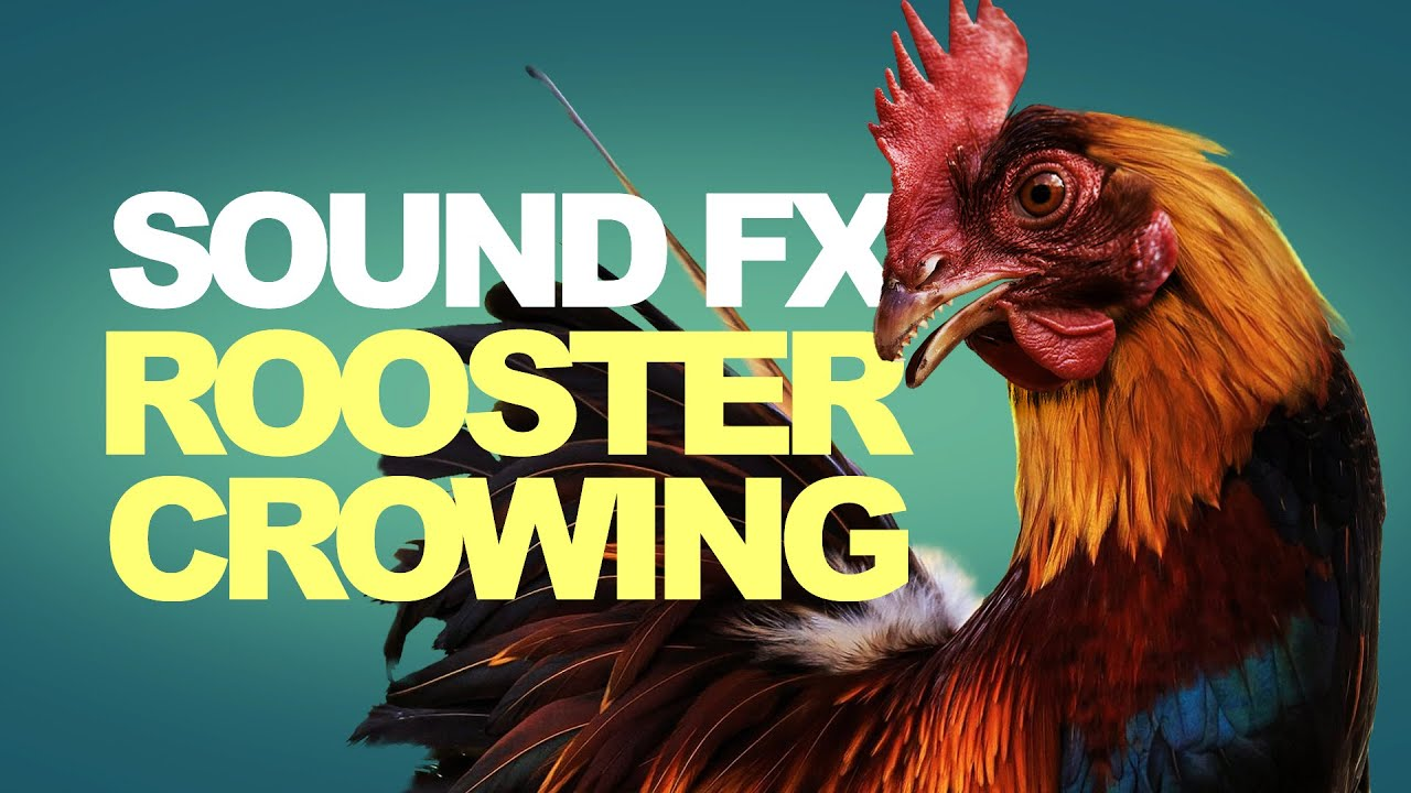 Rooster Crowing | Sound Effects [High Quality]