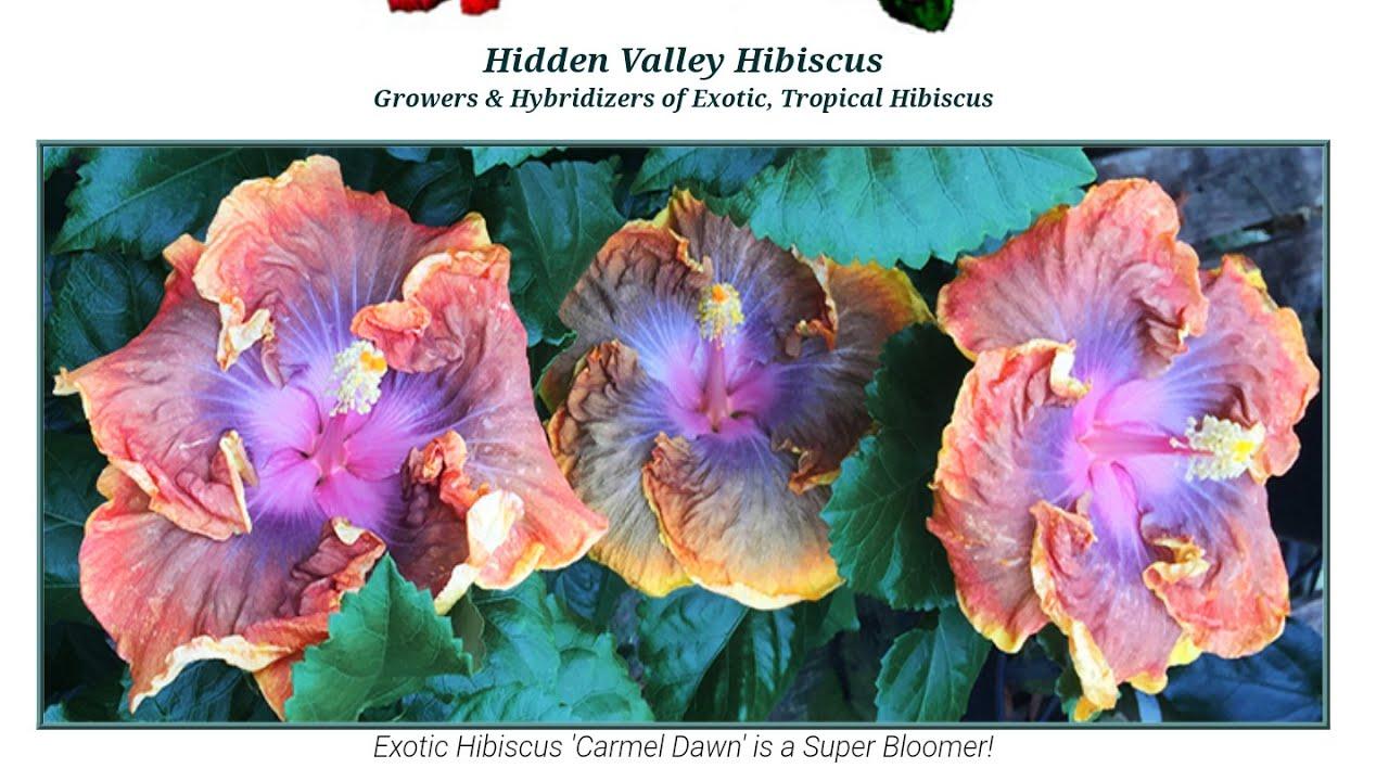 Amazing Hibiscus Hidden Valley Hibiscus Haul Tropical Plant