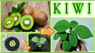 come far nascere un kiwi dal seme a costo zero, how to grow kiwi tree, como dar alla luz kiwi