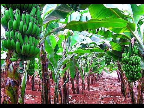 Menanam pisang - Cara canggih menanam pisang terbaik di