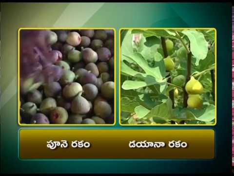 Good Results with DIANA Fig  | by Anantapur Farmer || ETV Annadata