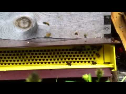 Anatomic Pollen Trap Collecting Bee Pollen