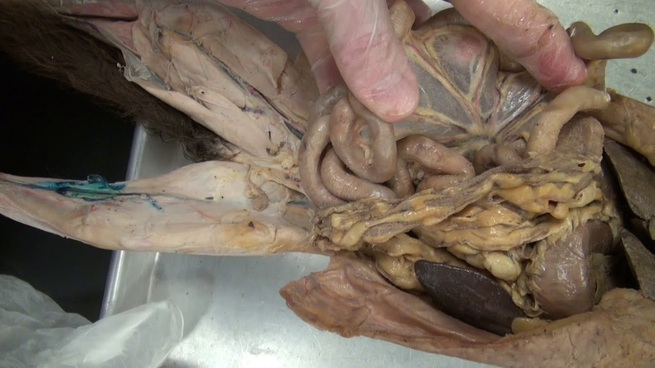 digestive system in cat dissection - YouTube