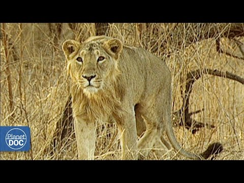 Asiatic Lion vs African Lion