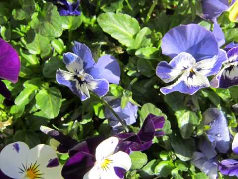 care for viola flowers