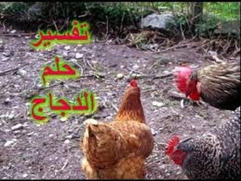 تفسير رؤية الدجاج او الفراخ فى المنام Youtube