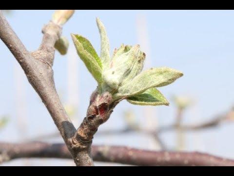 5ccea53bd57ab5 Komunikat sadowniczy Agrosimex z dnia 10.04.2019 - zabiegi przed kwitnieniem