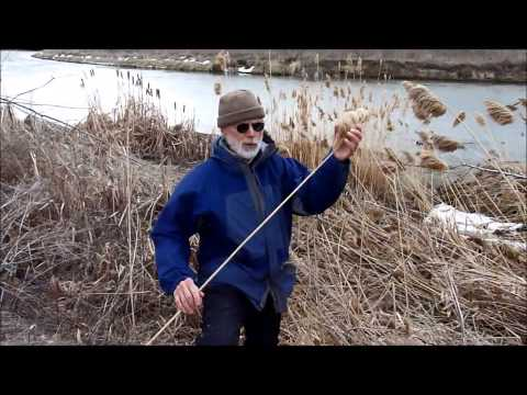 Bear River Land Conservancy Phragmites Sampling