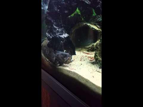 Lionfish Feeding (freshwater)