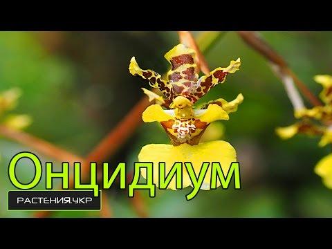Виды орхидей / Орхидея Онцидиум