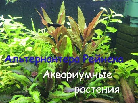 Альтернантера Рейнека (Alternanthera reineckii. Alternanthera rosaefolia)