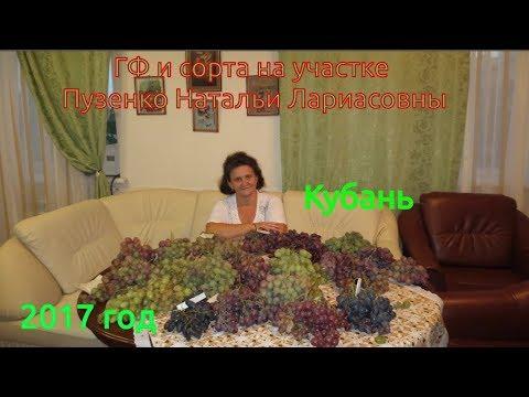 Виноград Кубань- ранний сорт винограда, Пузенко Наталья Лариасовна