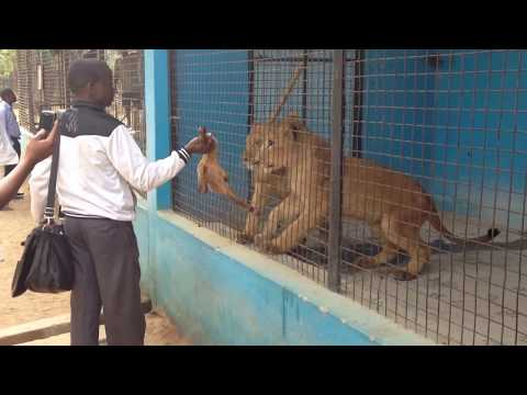 Hard to Watch - Feeding LIONS with GOAT