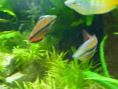 Melanotaenia Trifasciata(Goyder River) Shows