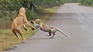 Lion Attacks Leopard in Road