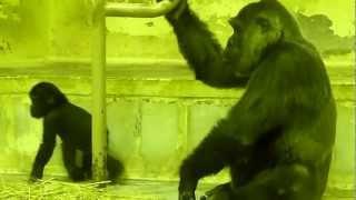 2012.12.19撮影 京都市動物園のゴリラの赤ちゃん、ゲンタロウ君。2011年...