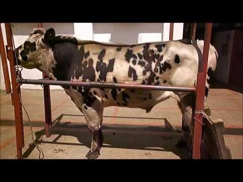 colecta bovino.wmv