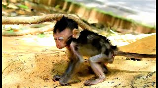 Very Hungry Small Newborn Baby Monkey Charlee, Poor Mother Have Milk Not Enough