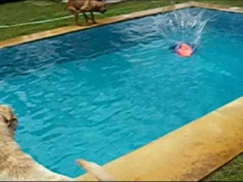 Rhodesian ridgeback and labrador puppy (dogparty in the swimming-pool)