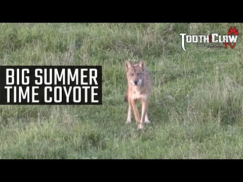 BIG Summer Time Coyote - Coyote Hunting
