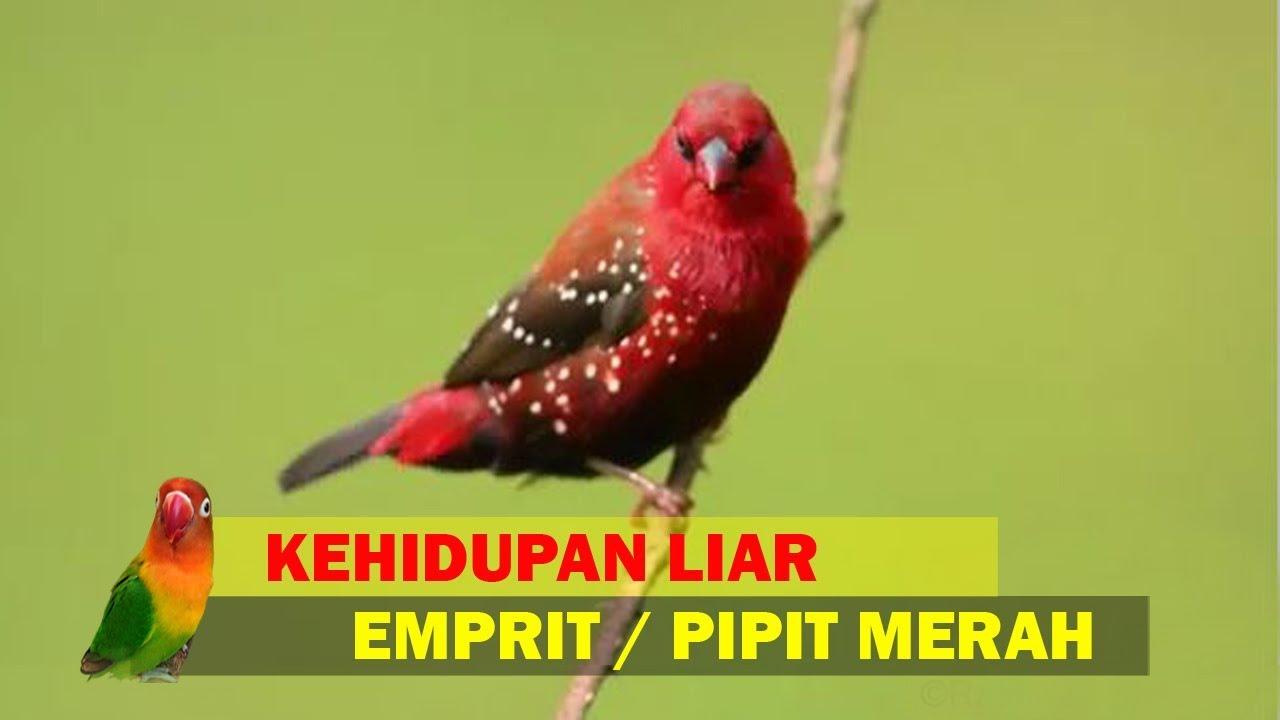 Kehidupan Liar Burung Emprit Strawberry Pipit Strawberry Strawberry Finch Red Avadavat Youtube