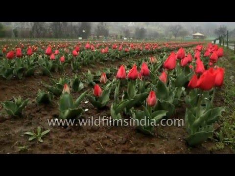 Tulip Garden, Srinagar - world-class match to Amsterdam's best!