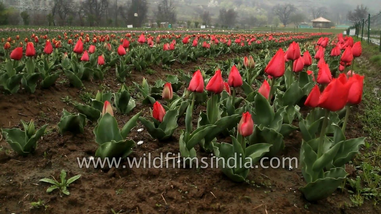 Tulip Garden, Srinagar - world-class match to Amsterdam\'s best ...