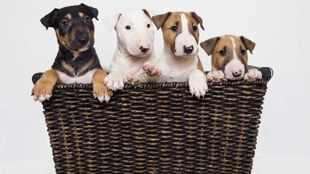 Bull Terrier Emoji App