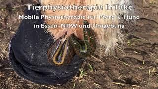 Blutegeltherapie beim Pferd - Shetty mit Hufrehe