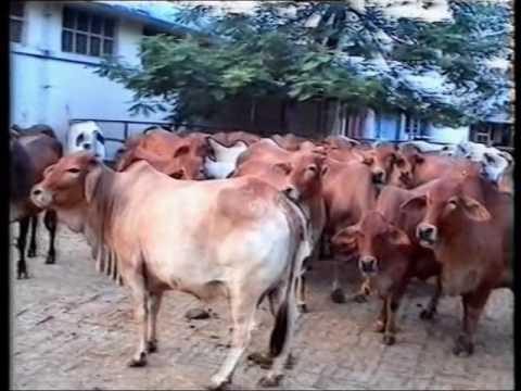 Clean Milk Production