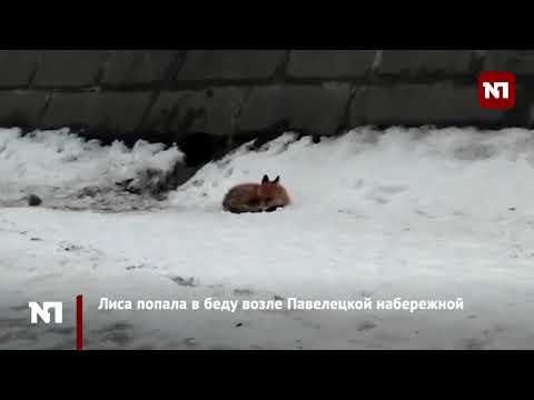 Лисица застряла на льдине в Москве реке