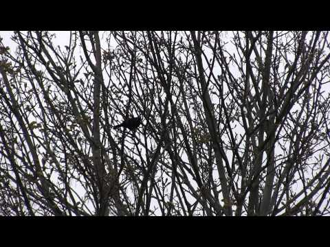 Blackbird ringtone mimic