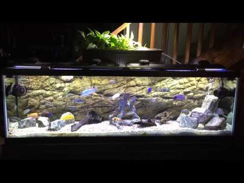 125 gallon african cichlids all male malawi show tank